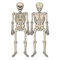 Jointed Skeleton