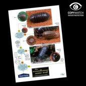 FG9 Field Guide - Woodlice