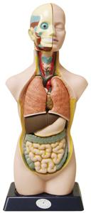 Human Torso-Large picture