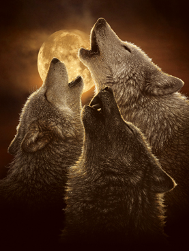 Wolf Trinity picture