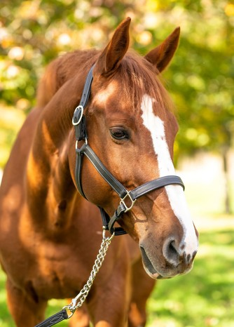 RED BARN GRACE CALF LINED HALTER picture