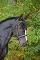 BLACK OAK CYPRUS HUNTER BRIDLE